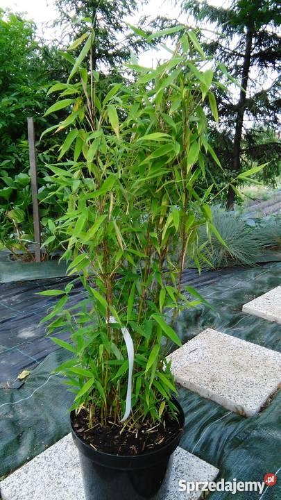 Bambus Fargesia Murielae Grune Hecke 5l 60cm Bambusy Krakow