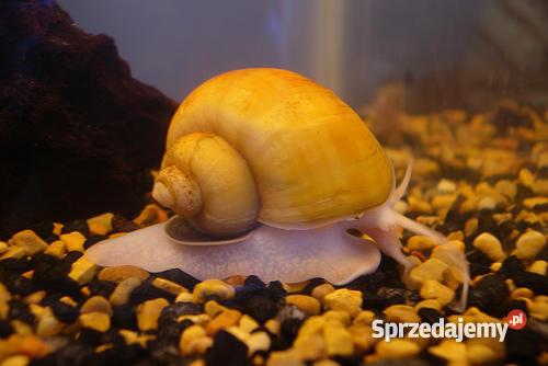 Ampularia ŻÓŁTA DUŻY ślimak na glonykatowicE Katowice