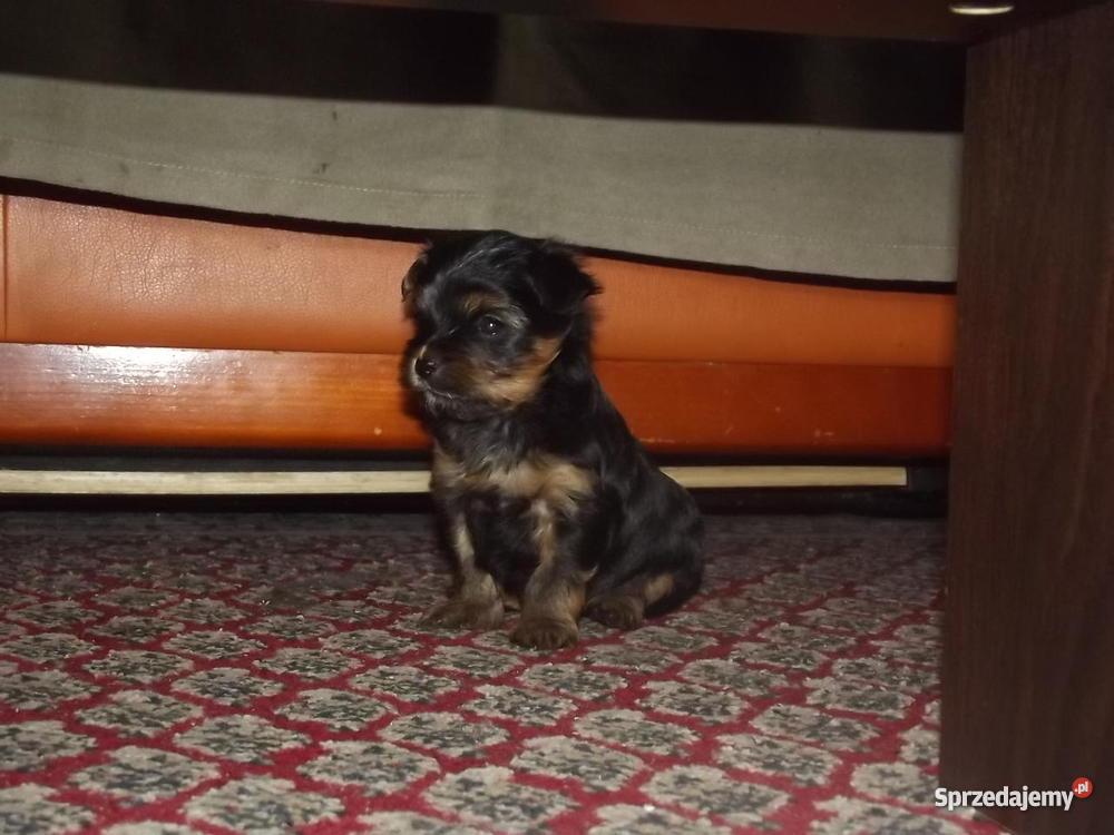 Yorkshire terrier miniaturka łódzkie Radomsko sprzedam