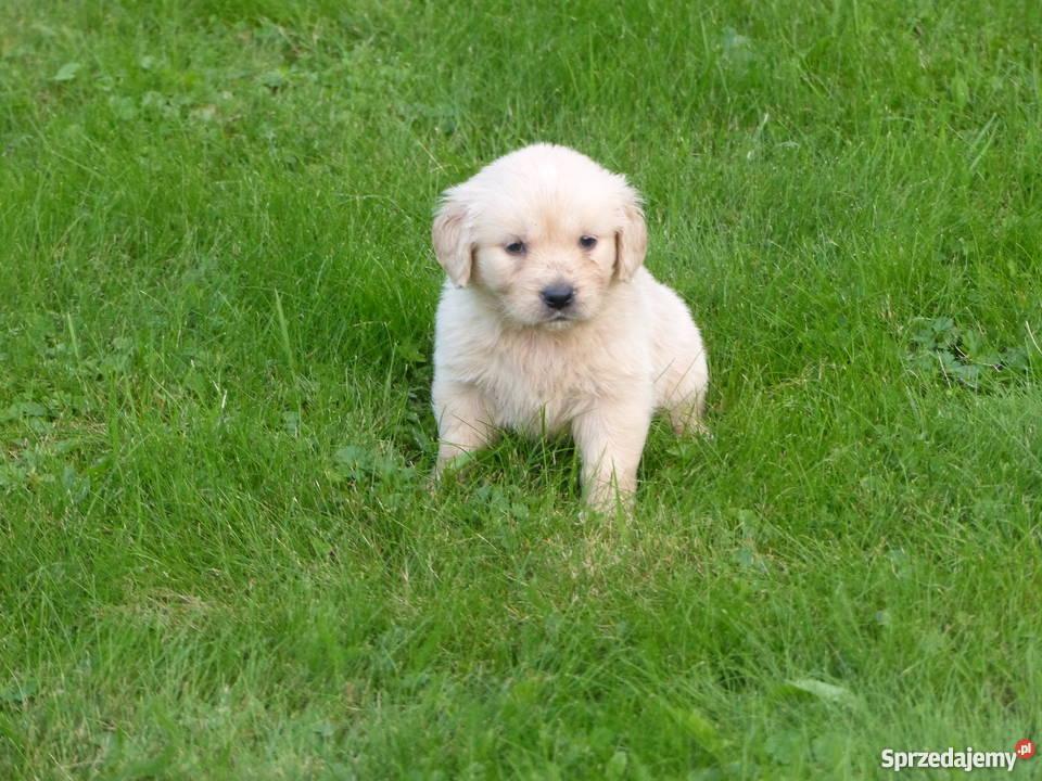 Najnowsze Golden Retriever szczeniaki Andrychów - Sprzedajemy.pl BP08