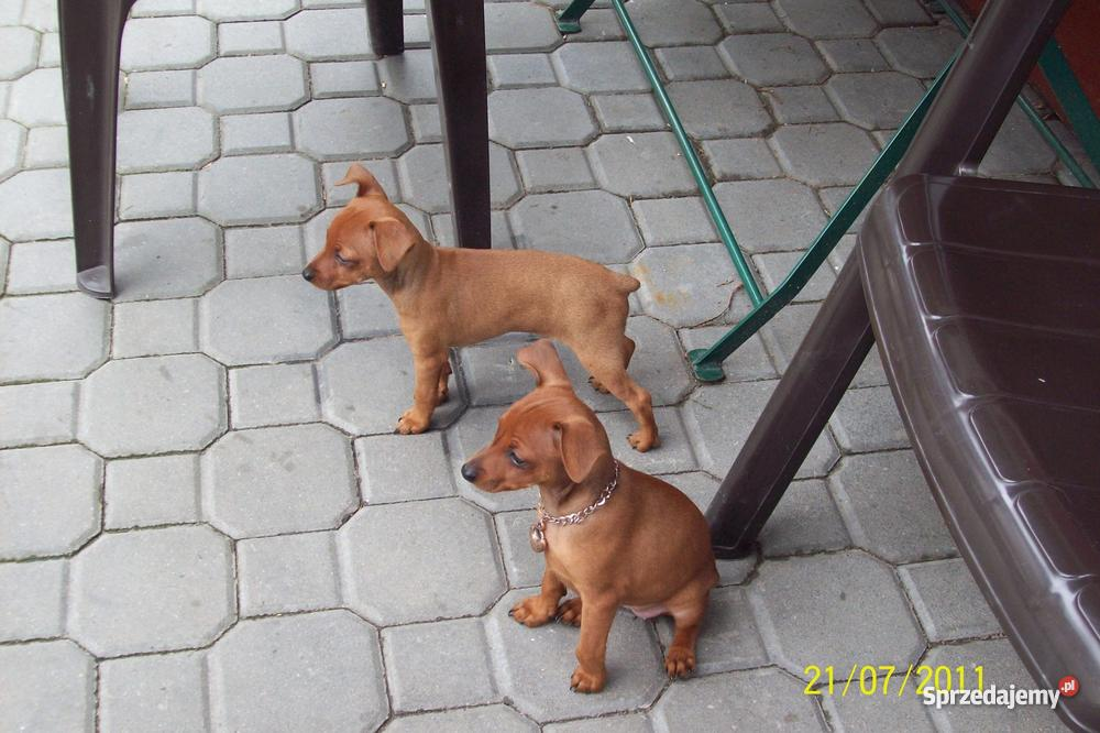 pieski pinczer miniaturka Psy Dębica