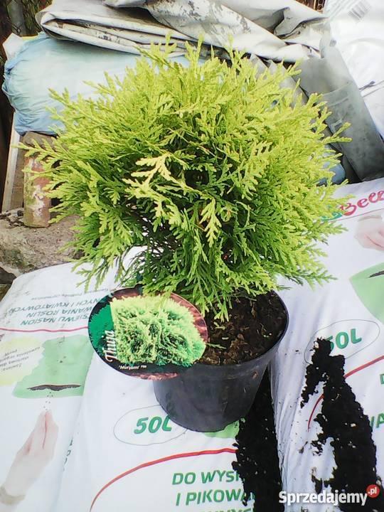 Tuja Szmaragd 80 DONICZKA 2L PRODUCENT Rośliny