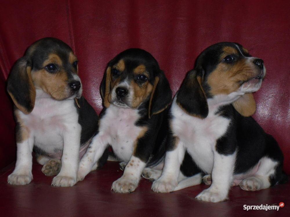Beagle szczeniaki wielkopolska Psy sprzedam