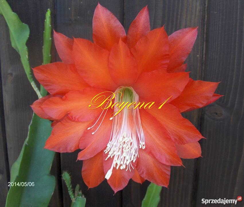 EPIPHYLLUM czerwone AKSAMITNE epifilum kaktus Skawina sprzedam