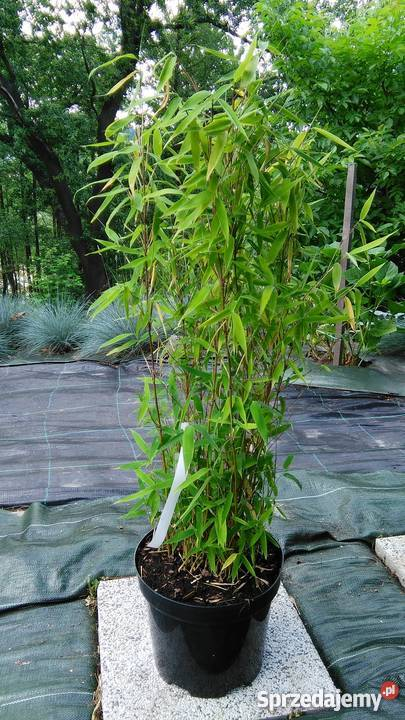 Bambus Hecke bambus fargesia murielae grune hecke 5l 60cm bambusy kraków