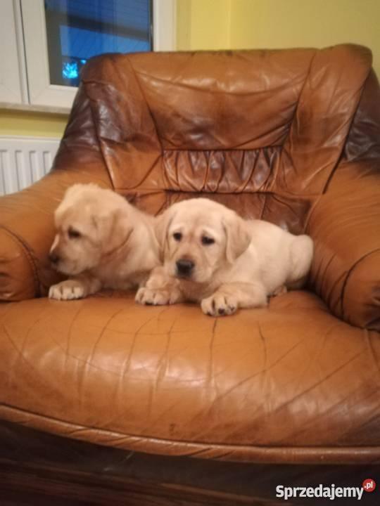 Masywnie pomorskie Psy rasowe Labrador na sprzedaż - Sprzedajemy.pl ZQ71