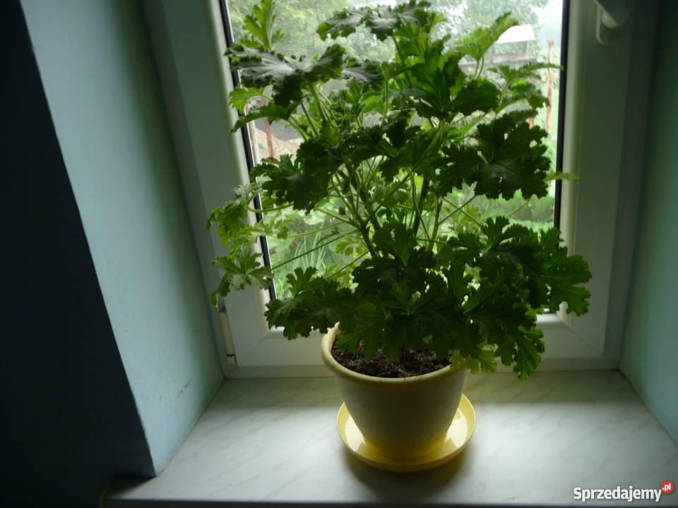 Kwiat Doniczkowy Geranium Cytrynka Anginka Skoczów Sprzedajemypl