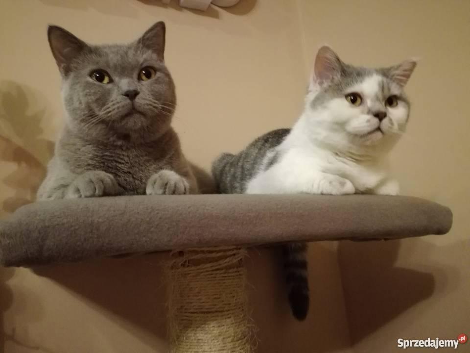 Modernistyczne Sprzedam koty brytyjskie Inowrocław - Sprzedajemy.pl TA21