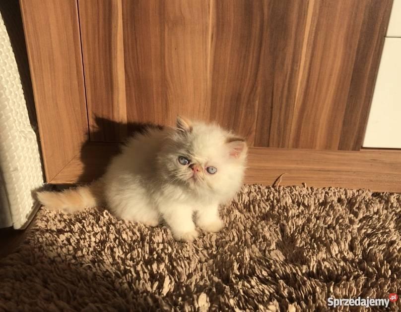 Młodzieńczy Koty Perskie, kot rasy Perskiej na sprzedaż - Sprzedajemy.pl MR91