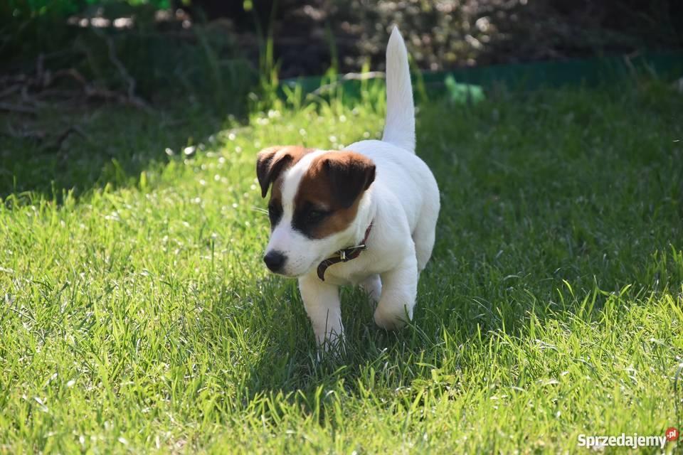 Dodatkowe Szczeniak Suczka Jack Russell Terrier (FCI)ZKwP Ostrów SZ19