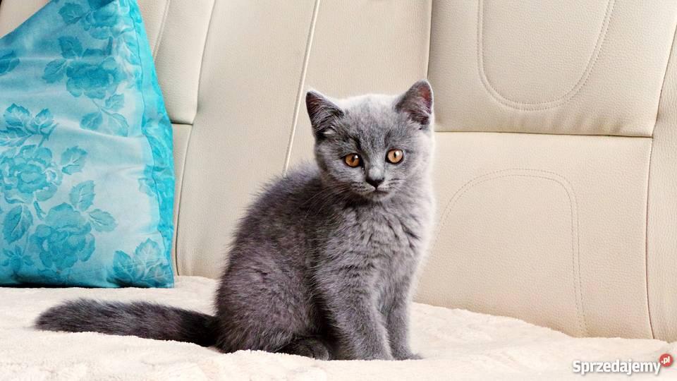 Koty Brytyjskie Z Rodowodem Piękne Niebieskie Umaszczenie Radom