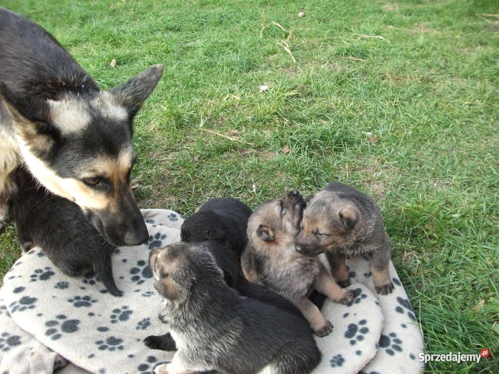 szczeniaki masci owczarek niemiecki lubuskie Dobiegniew