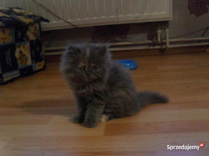 koty perskie Wierzchosławice sprzedam