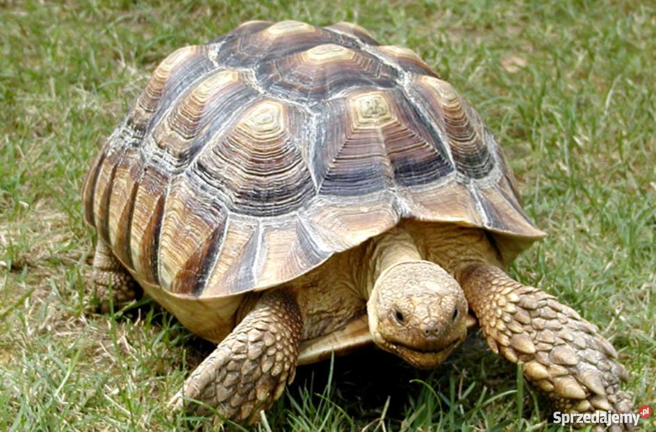 Żółwia żółw pustynny lądowy duży gigant sprzedam Lublin ...