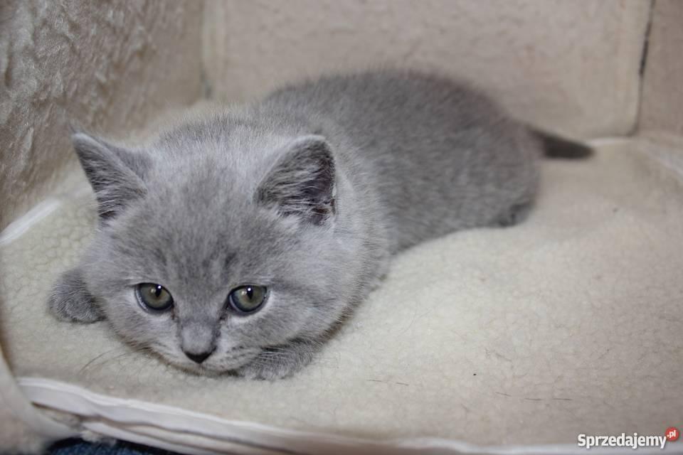 Kot Brytyjski śliczne Kocięta Brytyjskie Krótkowłose Legnica