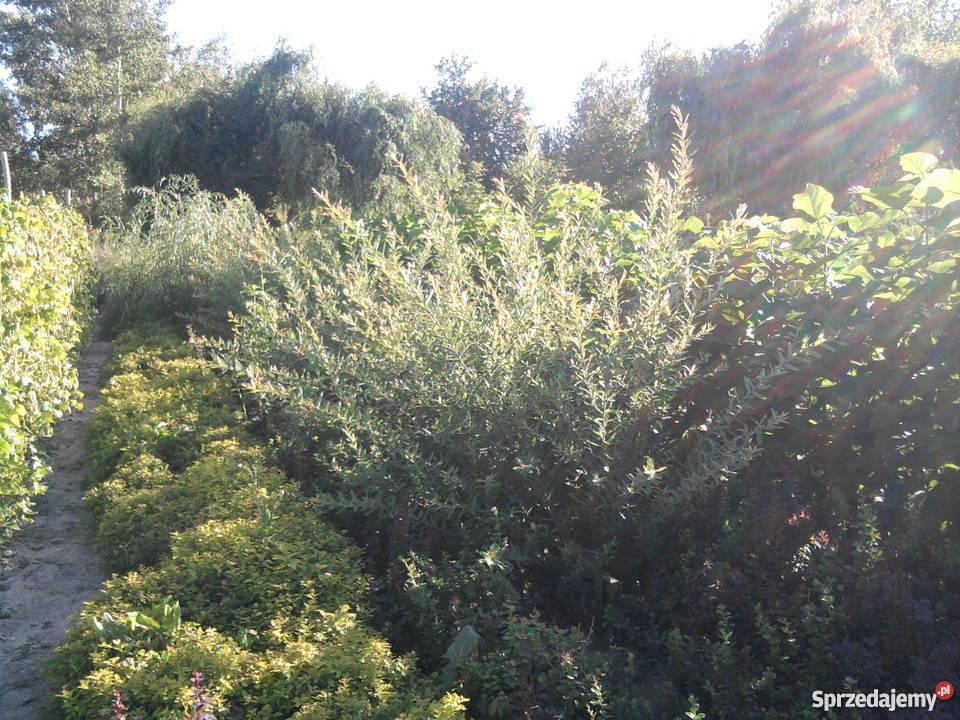 liguster mahonia pigwowiec modrzew catalpa lubelskie Puławy
