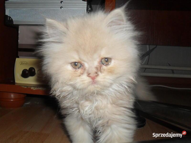 koty perskie Wierzchosławice