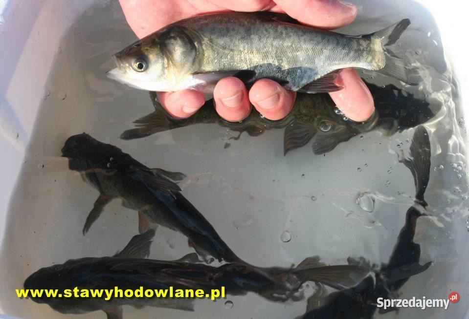 Tołpyga 15 cm ryby do zarybienia oczek wodnych i stawów