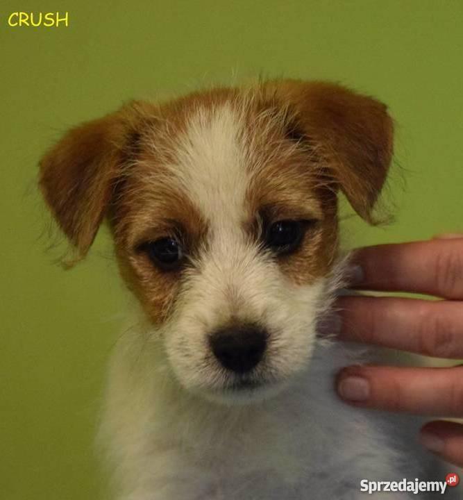 Jack Russell Terrier szczenięta z rodowodem ZKwP Warszawa