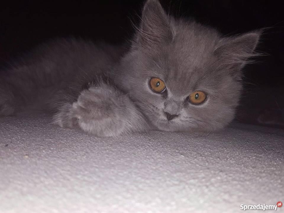 W Mega Koty Brytyjskie Żnin - Sprzedajemy.pl VN53