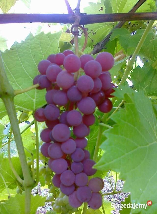 winogrona i montaż