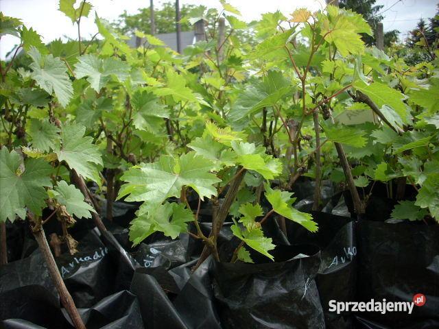 Sadzonki winorośli winogron Ozorków