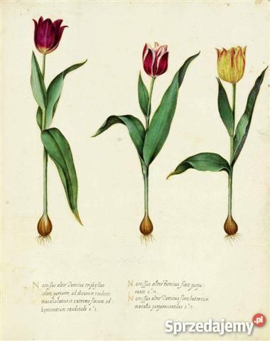 TULIPANY ZIELNIK 1713 r reprodukcje XVIII w