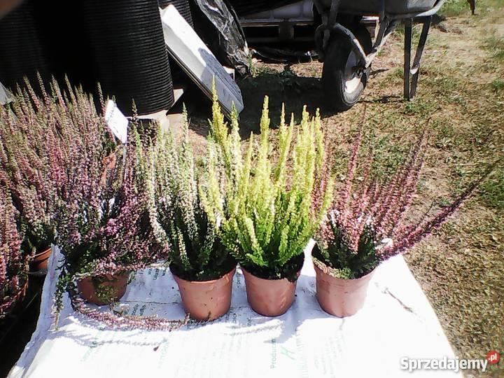 Tuja Szmaragd 80 DONICZKA 2L PRODUCENT Rośliny Zacharzyce