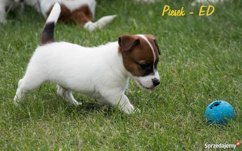 Niewiarygodnie Szczeniaki Jack Russell Terrier FCI (Rodowód ZKwP) Ostrów UU29