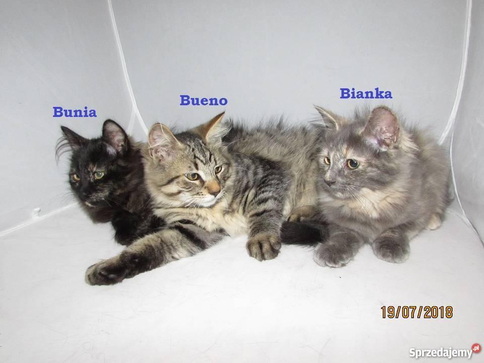 Kocięta Syberyjskie Kot Syberyjski Rodowodowe Kociaki Bojanów