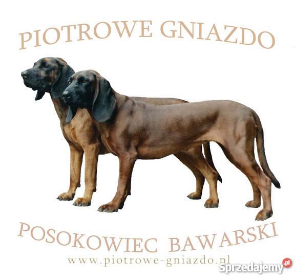 Tylko na zewnątrz Posokowiec bawarski szczeniaki FCI Zabrze - Sprzedajemy.pl PO44