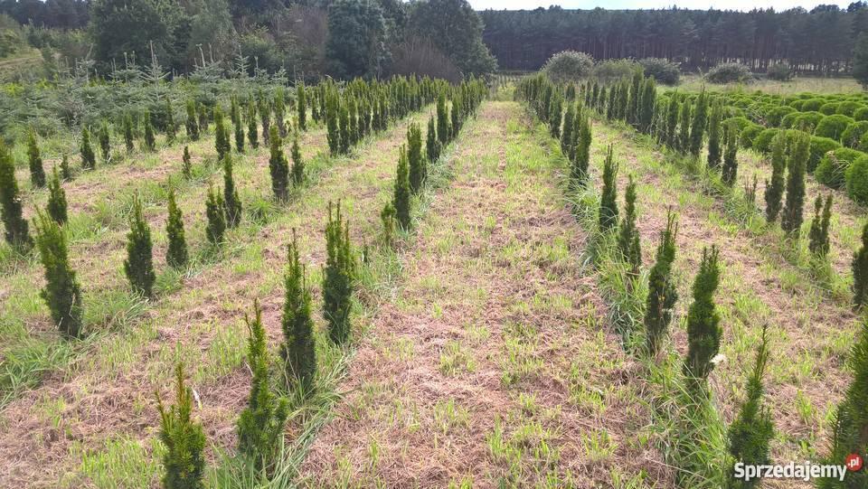 Rośliny ozdobne iglaki Tanio Suchanówko