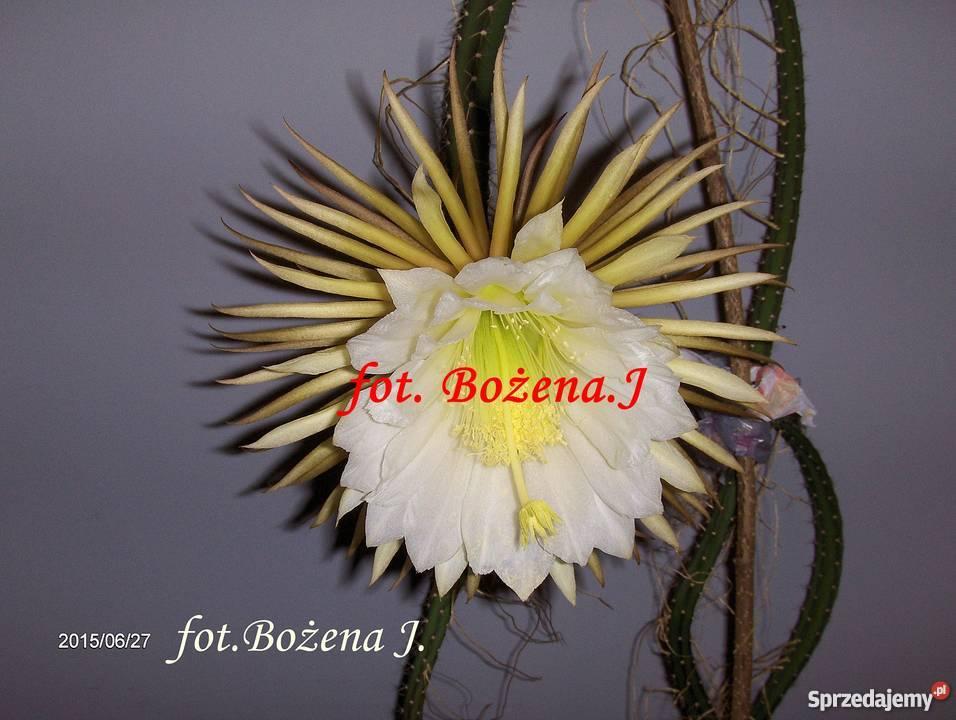 Królowa Jednej Nocy S Grandiflorus Epiphyllum Skawina