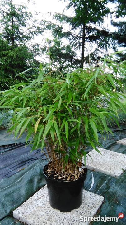 Bambus Fargesia Rufa 5l 60 80cm Bambusy Krakow Sprzedajemy Pl