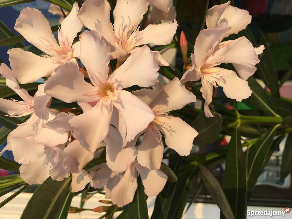 Sadzonki oleander kremowy małopolskie Brzeźnica sprzedam