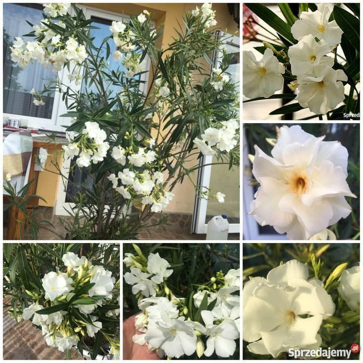 Kwiaty oleander pachnący małopolskie Brzeźnica