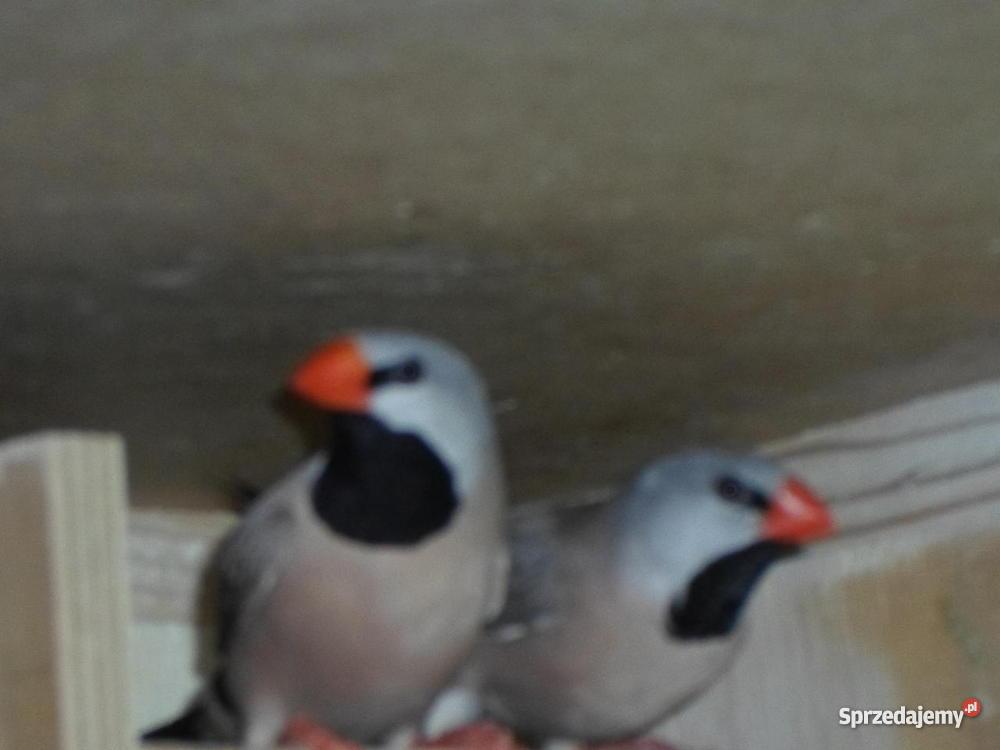 Papugi Faliste Lidzbark