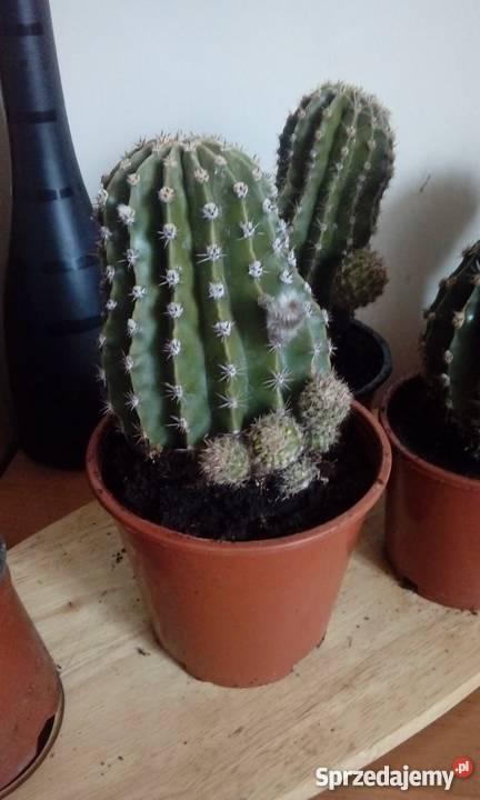 Kwiaty Doniczkowe Kaktus Echinopsis Eyriesii 21