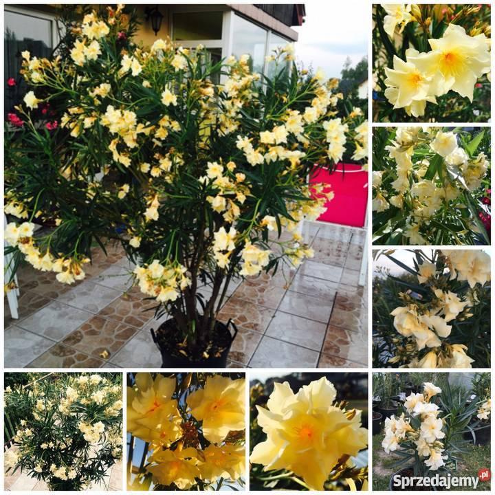 Sadzonki żółty oleander Brzeźnica