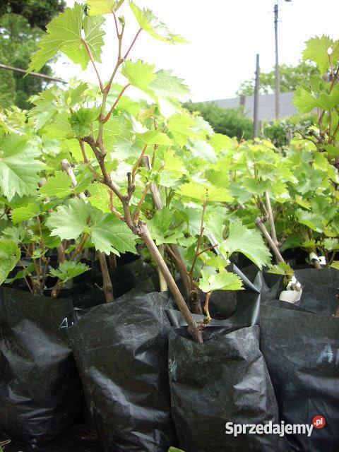 Sadzonki winorośli winogron łódzkie Ozorków