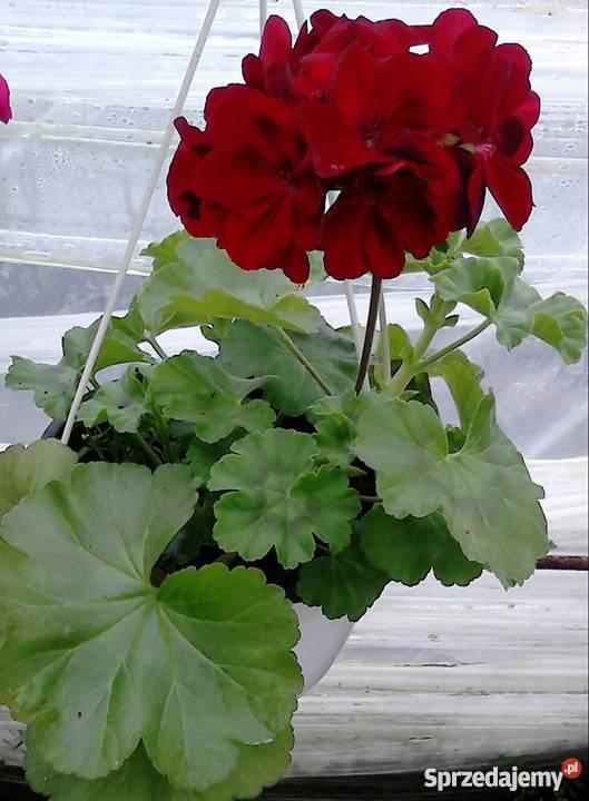 Kwiaty Doniczkowe I Ogrodowe Czernichów Sprzedajemypl