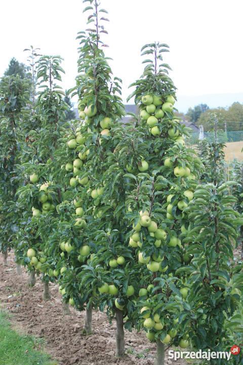 SPRZEDAM DRZEWKA OWOCOWE PRODUCENT Produkcja roślinna lubelskie Końskowola