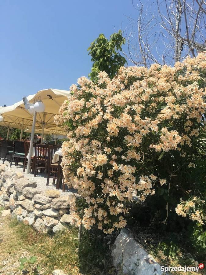 Żółty oleander Szczepki Rośliny