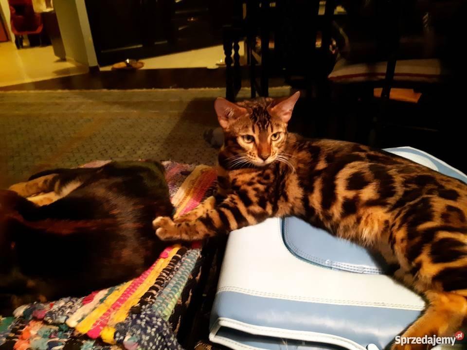 Koty Kotki Kocięta Rasowe I Nierasowe Na Sprzedaż Sprzedajemypl