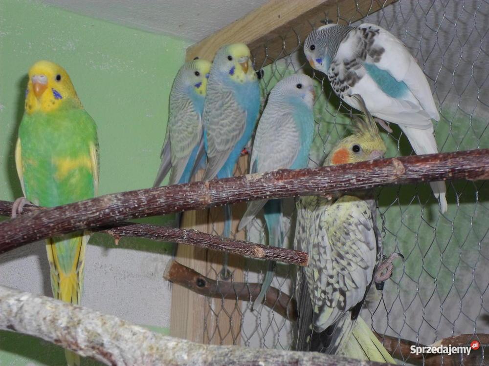 Papugi Faliste sprzedam