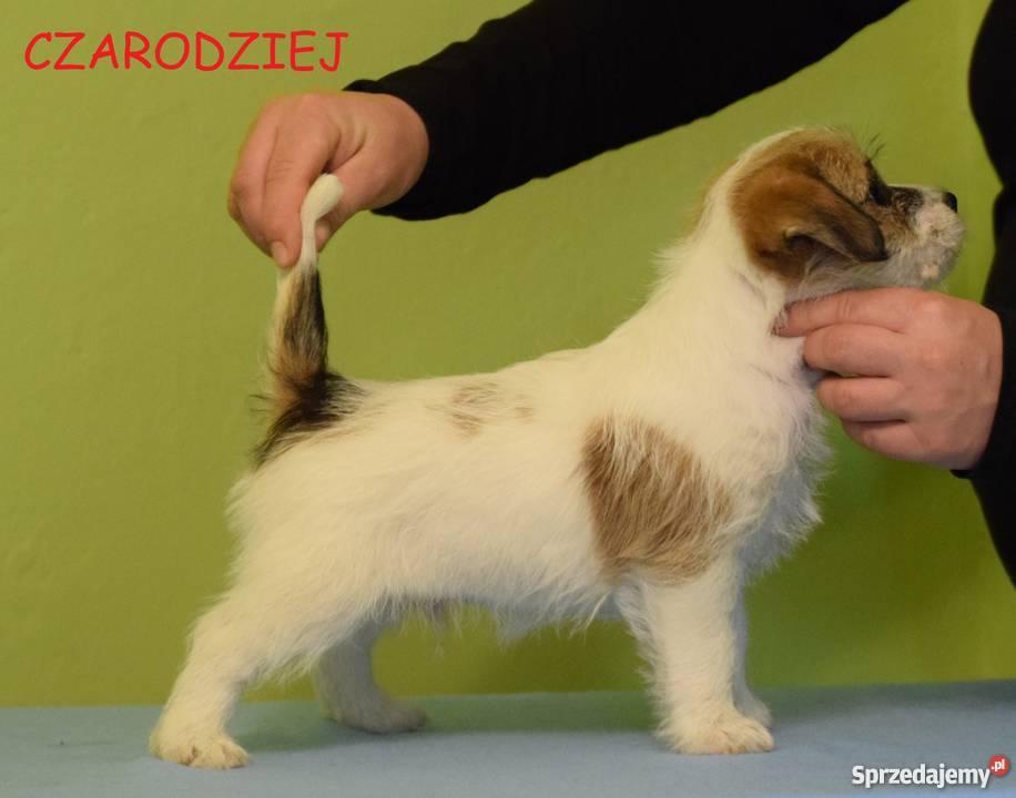 Jack Russell Terrier szczenięta z rodowodem ZKwP Warszawa sprzedam
