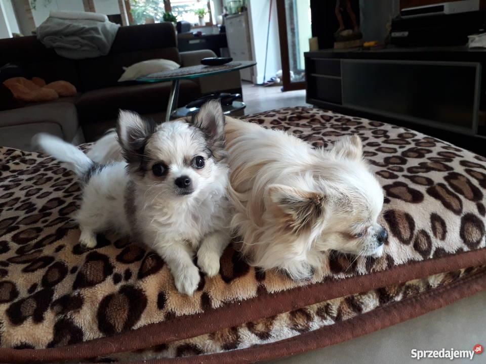 Chihuahua Psy Łódź