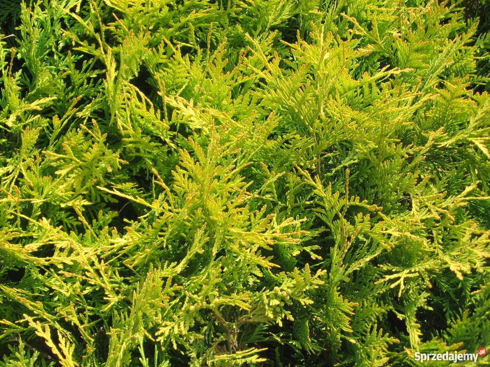 Thuja Golden Globe tuja Golden Globe Blachownia