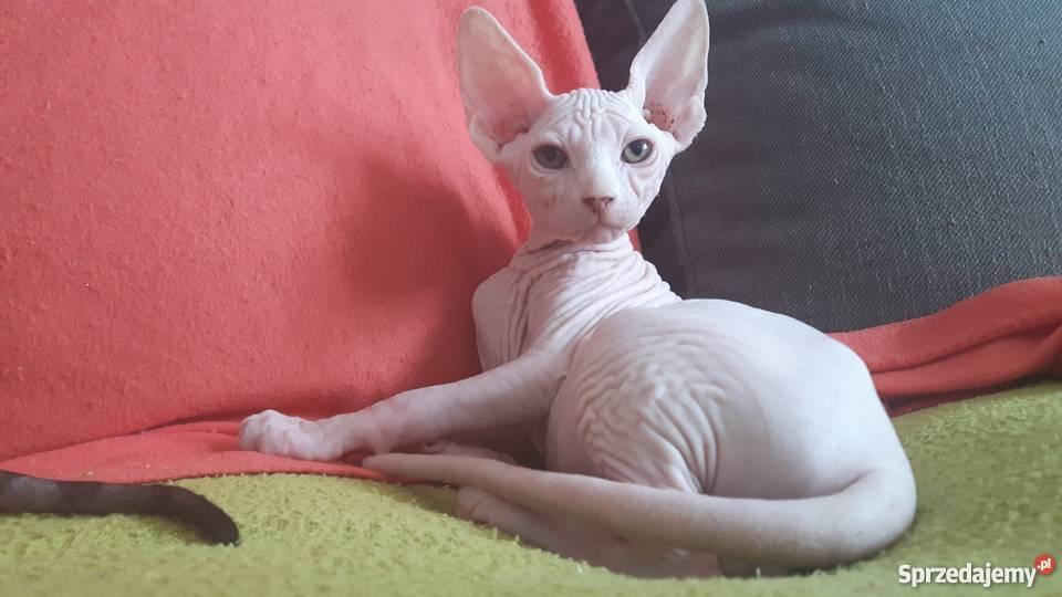 Poważnie sprzedam kotka rasy sfinks kanadyjski Rzeszów - Sprzedajemy.pl FX91