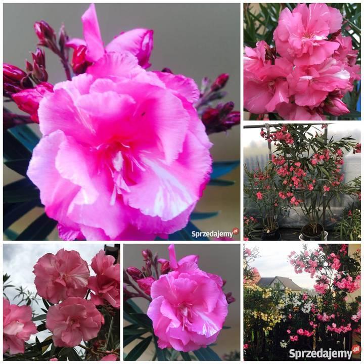 Kwiaty oleander pachnący małopolskie Brzeźnica sprzedam